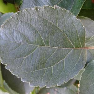 Photographie n°677813 du taxon Malus domestica Borkh. [1803]