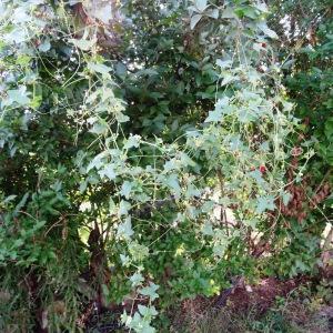 Photographie n°677861 du taxon Bryonia cretica subsp. dioica (Jacq.) Tutin [1968]