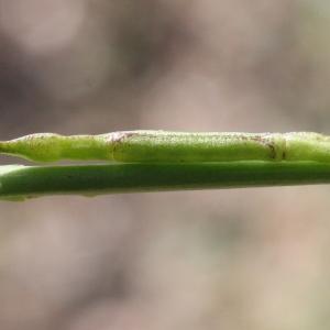 Photographie n°677924 du taxon Hirschfeldia incana (L.) Lagr.-Foss. [1847]
