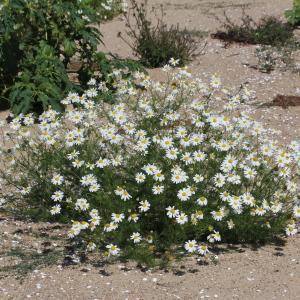 Photographie n°677947 du taxon Matricaria perforata Mérat [1812]