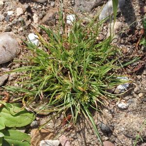 Photographie n°677954 du taxon Scirpus michelianus L. [1753]