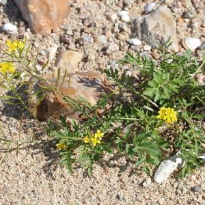 Photographie n°677959 du taxon Rorippa sylvestris (L.) Besser