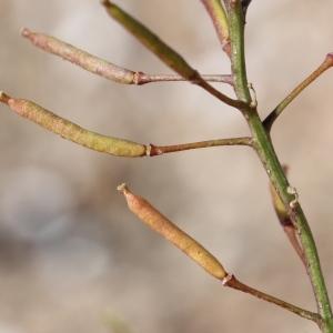 Photographie n°677962 du taxon Rorippa sylvestris (L.) Besser