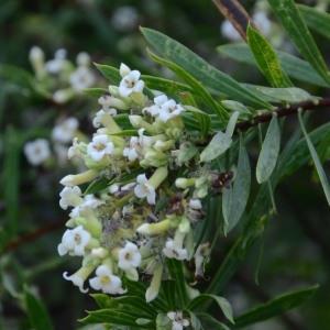 Photographie n°678017 du taxon Daphne gnidium L. [1753]