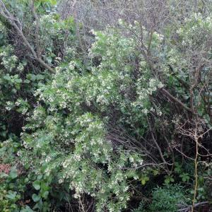 Photographie n°678018 du taxon Daphne gnidium L. [1753]