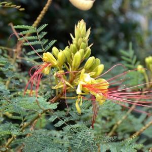 Photographie n°678049 du taxon Caesalpinia gilliesii (Wall. ex Hook.) D.Dietr.