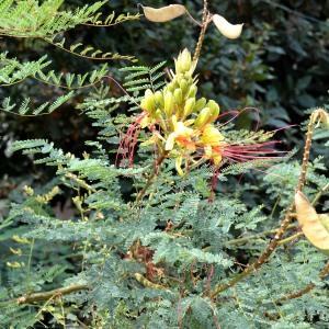Photographie n°678051 du taxon Caesalpinia gilliesii (Wall. ex Hook.) D.Dietr.