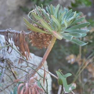 Photographie n°678281 du taxon Euphorbia dendroides L. [1753]