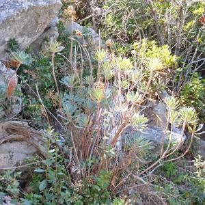 Photographie n°678282 du taxon Euphorbia dendroides L. [1753]