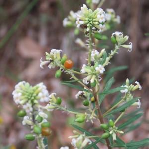 Photographie n°678610 du taxon Daphne gnidium L. [1753]
