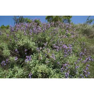 Salvia officinalis subsp. lavandulifolia (Vahl) Gams (Sauge à feuilles de lavande)