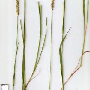 Photographie n°678962 du taxon Setaria parviflora (Poir.) Kerguélen [1987]