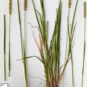 Photographie n°678964 du taxon Setaria parviflora (Poir.) Kerguélen [1987]