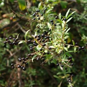 Photographie n°679354 du taxon Ligustrum vulgare L. [1753]