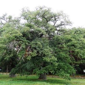 Photographie n°679492 du taxon Quercus petraea subsp. petraea