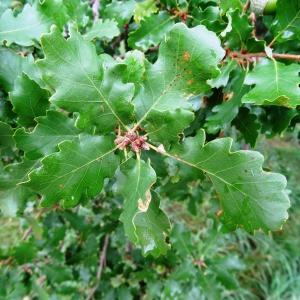 Photographie n°679493 du taxon Quercus petraea subsp. petraea