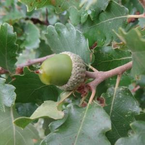 Photographie n°679494 du taxon Quercus petraea subsp. petraea