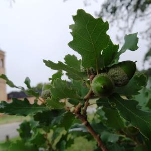 Photographie n°679495 du taxon Quercus petraea subsp. petraea