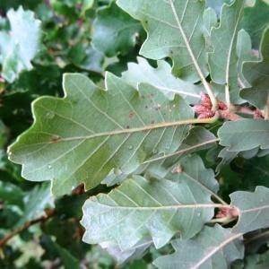 Photographie n°679497 du taxon Quercus petraea subsp. petraea