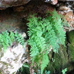 Photographie n°679573 du taxon Asplenium adiantum-nigrum L.