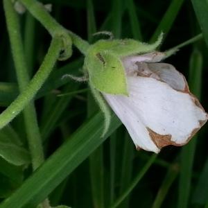 Photographie n°679657 du taxon Althaea officinalis L. [1753]