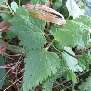 - Lamium maculatum (L.) L. [1763]