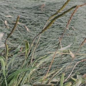 - Plantago maritima subsp. maritima