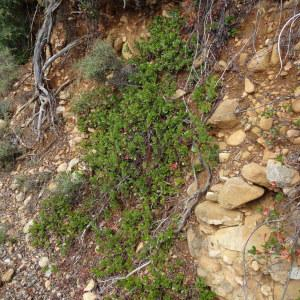 Photographie n°679904 du taxon Arctostaphylos uva-ursi var. crassifolius Braun-Blanq. [1957]