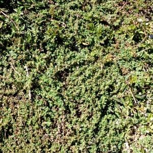 Photographie n°679910 du taxon Euphorbia prostrata Aiton