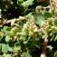 Jean-Claude Bouzat - Euphorbia prostrata Aiton