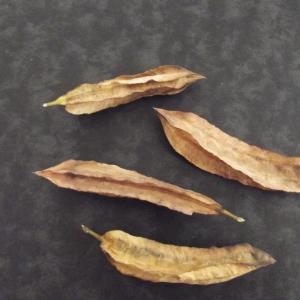Photographie n°679979 du taxon Sesbania punicea (Cav.) Benth. [1859]