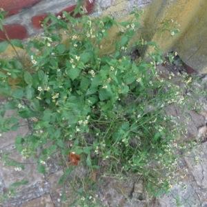 - Galinsoga à petites fleurs