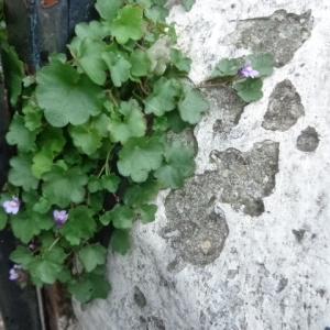 Photographie n°680064 du taxon Cymbalaire des murailles