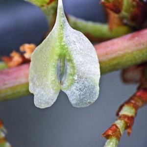 - Reynoutria japonica Houtt.