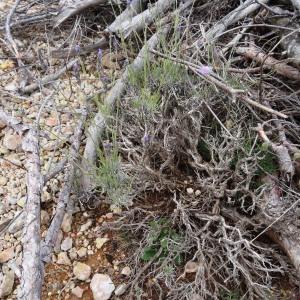Photographie n°680295 du taxon Lavandula latifolia Medik.