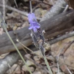 Photographie n°680296 du taxon Lavandula latifolia Medik.