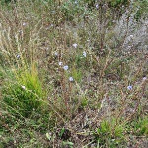 Photographie n°680328 du taxon Cichorium intybus subsp. intybus
