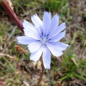 Photographie n°680329 du taxon Cichorium intybus subsp. intybus