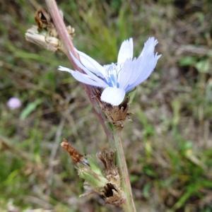 Photographie n°680330 du taxon Cichorium intybus subsp. intybus