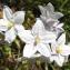 Jean-Claude Echardour - Solanum laxum Spreng.
