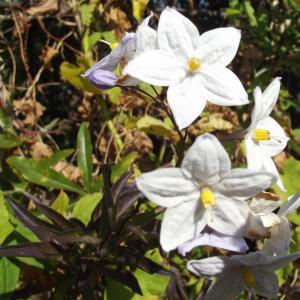 Solanum laxum Spreng. (Morelle faux jasmin)