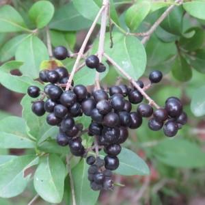Photographie n°680458 du taxon Ligustrum vulgare L. [1753]