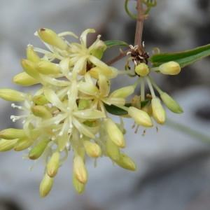 Photographie n°680459 du taxon Smilax aspera L. [1753]