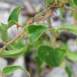 Photographie n°680460 du taxon Smilax aspera L. [1753]