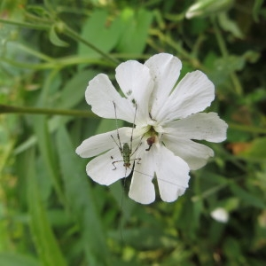 Photographie n°680487 du taxon Silene latifolia subsp. alba (Mill.) Greuter & Burdet [1982]