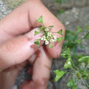 Photographie n°680936 du taxon Capsella bursa-pastoris (L.) Medik.
