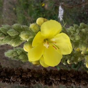 Photographie n°681227 du taxon Verbascum thapsus L.