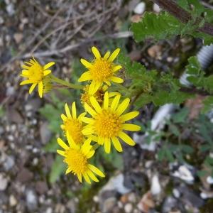 Photographie n°681237 du taxon Jacobaea vulgaris subsp. vulgaris