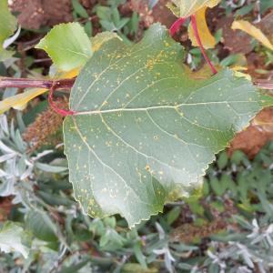 Photographie n°681309 du taxon Populus L. [1753]
