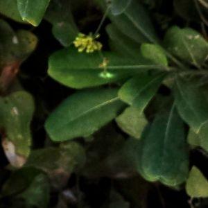 Photographie n°681563 du taxon Smilax aspera L. [1753]